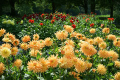Dahlias Indian Summer Royalty Free Stock Images