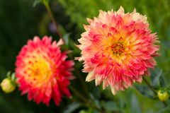 Dahlias. The photo shows lush flowers of dahlia. Sharpness on one flower Royalty Free Stock Photo