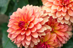 Dahlias. The photo shows lush flowers of dahlia. Sharpness on one flower Stock Photos