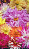 Dahlias. Pink, Yellow, Orange, Red, etc.l floating in water in birdbath. Bayard Cutting Arboretum in Oakdale, NY stock photo