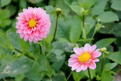 Dahlias. Pink and yellow dahlias, a tuberous-rooted Mexican plant royalty free stock images