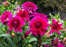 Dahlias pourpres et rouges foncés dans un jardin Photographie stock libre de droits