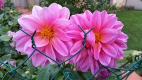 Dahlias roses Photographie stock