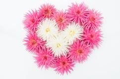 Dahlias roses et blancs dans la forme du coeur d'amour Photo libre de droits