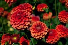 Dahlias rouges et oranges sur le fond de feuillage Photographie stock