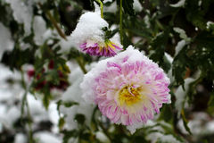 Dahlias in the snow Stock Image