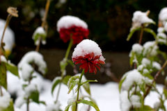 Dahlias in the snow Stock Photography