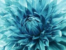 Dahliaturkosblomma Makro Brokig stor blomma Bakgrund från en blomma n royaltyfria bilder