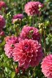 Dahlie 'Intrige ', die im Garten blüht stockbilder