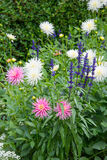 Dahlie Aconitum, Butchart-Gärten Stockfoto