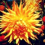 Dahlie anaranjado fotografía de archivo