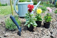 Dahlie blüht bereites zum Pflanzen Lizenzfreie Stockbilder