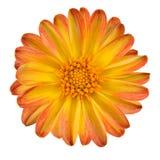 Dahlie-Blume mit den orange Gelb-Blumenblättern getrennt Stockbild