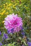 Dahlie, Dahlia Royalty-vrije Stock Afbeeldingen