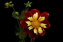 Dahlie in den roten und gelben Farben auf einem schwarzen Hintergrund Stockbild