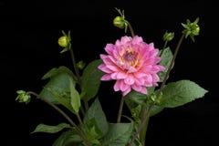 Dahlie der rosa Farbe mit den Knospen auf schwarzem Hintergrund Lizenzfreie Stockfotos