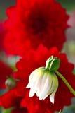 Dahlie im Garten Lizenzfreies Stockbild