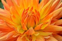 Dahlie mit den orangegelben Blumenblättern. Abschluss oben. Stockfoto