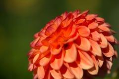 Dahlie orange, grüner Hintergrund, im Sommer Stockfoto