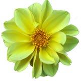 Dahlie, schöne Blumennahaufnahme Lizenzfreie Stockfotografie
