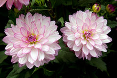 Dahlie. Two dahlia blossoms with buds Royalty Free Stock Photo