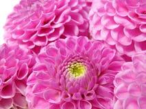 Dahlieblumen getrennt auf Weiß Stockfoto