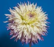 Dahlieblumenabschluß oben Stockfotografie