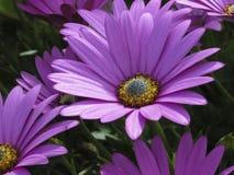 Dahlien in der Blüte Lizenzfreies Stockfoto