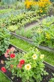 Dahlien in einem Gemüsegarten Lizenzfreie Stockfotos