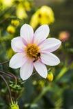 Dahlien mit Biene lizenzfreie stockbilder