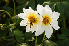 Dahlien mit Biene stockbild
