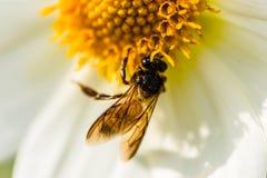 Dahlien mit Biene lizenzfreie stockfotos