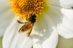 Dahlien mit Biene lizenzfreies stockbild