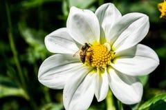 Dahlien mit Biene stockfoto