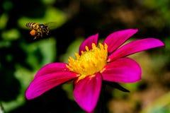 Dahlien mit Biene stockbilder