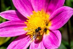 Dahlien mit Biene stockfotos