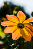 Dahlien mit Biene Lizenzfreies Stockfoto