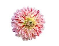 Dahlienblume auf einer weißen Hintergrundnahaufnahme Lizenzfreies Stockbild