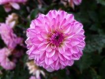 Dahlienblume in der Blüte des vollen Sommers lizenzfreies stockbild