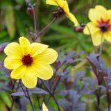 Dahlienblume in der Blüte in einem BRITISCHEN Garten lizenzfreies stockbild