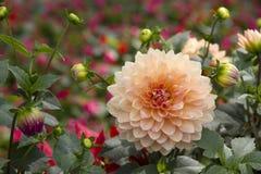 Dahlienblume, die in einem formalen Garten blüht Stockbild