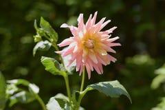 Dahlienblume im Sonnenlicht Stockfoto