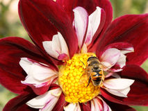 Dahlienblume mit Biene sammelt Nektar Stockbilder