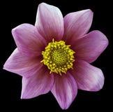 Dahlienblume violett-rosa, schwarzer lokalisierter Hintergrund mit Beschneidungspfad nahaufnahme Keine Schatten Für Auslegung ach Lizenzfreies Stockbild