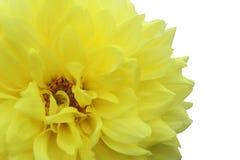 Dahlienblumen-Nahaufnahmehintergrund der Beschaffenheit heller gelber Stockfoto