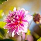 Dahlienblumenhintergrund Herbstblume Lizenzfreie Stockfotografie