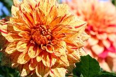 Dahlienelija-Maurer Asteraceae-Vielzahlchrysantheme, stockfoto