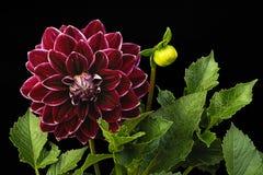 Dahlienkirschfarbe u. x28; Blumen auf einem schwarzen background& x29; Stockfotografie
