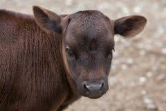 Dahomey dwarf cattle Bos primigenius taurus. Stock Images