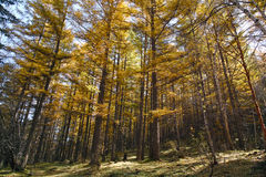 Dahurian larch Royalty Free Stock Image